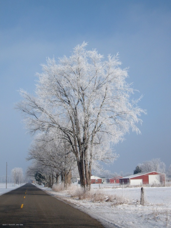 the frosted tree