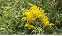 Al Sabo 4 -- There is a lot of goldenrod (<i>Solidago spp.</i>) in bloom this time of year. Despite what adverts would have you believe, goldenrod is not responsible for allergies.