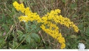 Al Sabo 7 -- Another specimen of <i>Solidago</i>. There are over 100 species, and it is difficult to identify individual species without specialist knowledge.