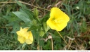 Al Sabo 12 -- Another specimen of the same plant. Again, I think it is evening primrose (<i>Oenothera biennis</i>).