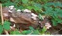 Al Sabo 20 -- Fungus fruiting bodies on a fallen log.