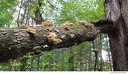 Al Sabo 21 -- A branch fell off this tree. It did not take long for fungi to colonize it, as the wood was still solid.