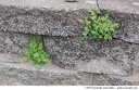 <i>Oxalis europaea</i> -- <i>Oxalis europaea</i> growing in the clefts between concrete blocks in a decorative wall.