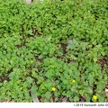 <i>Oxalis europaea</i> -- A patch of <i>Oxalis europaea</i> growing in an untended flower bed.