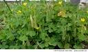 <i>Oxalis europaea</i> -- The upright seed pods of <i>Oxalis europaea</i>.