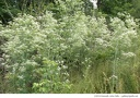"<i>Conium maculatum</i> -- A healthy stand of <i>Conium maculatum</i> (poison hemlock). It resembles a giant wild carrot (<i>Daucus carota</i>). <span style=""color:red;""><strong>Warning:</strong> All parts of this plant are highly poisonous.</span>"
