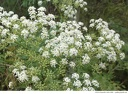 "<i>Conium maculatum</i> -- A compound umbel of <i>Conium maculatum</i> (poison hemlock). It resembles a giant wild carrot (<i>Daucus carota</i>). <span style=""color:red;""><strong>Warning:</strong> All parts of this plant are highly poisonous.</span>"