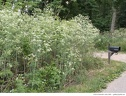 "<i>Conium maculatum</i> -- Another healthy stand of <i>Conium maculatum</i> (poison hemlock). It resembles a giant wild carrot (<i>Daucus carota</i>). It generally grows 0.5 to 2 meters in height. Compare the height of these plants to the mailbox. <span style=""color:red;""><strong>Warning:</strong> All parts of this plant are highly poisonous.</span>"