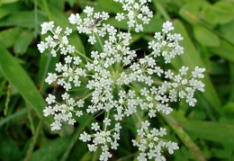 Compound umbel of Daucus carota